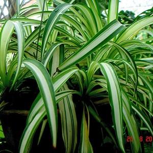 De graslelie helpt gelucht in huis schoon te houden. Deze makkelijk te onderhouden kamerplanten verwijderen chemicaliën en zien er leuk en wild uit.
