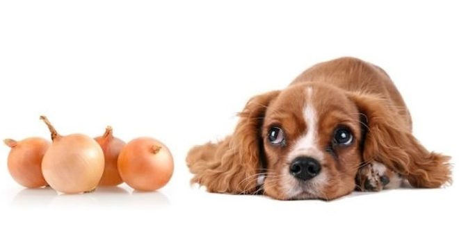 cipolle tossiche per i cani