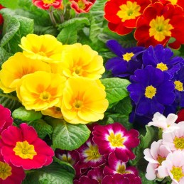 colorful fresh spring primula flowers bed