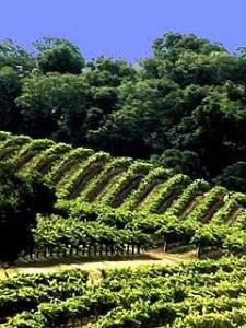 winefield