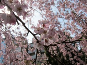 My very first up close and personal with the cherry blossoms in Tokyo