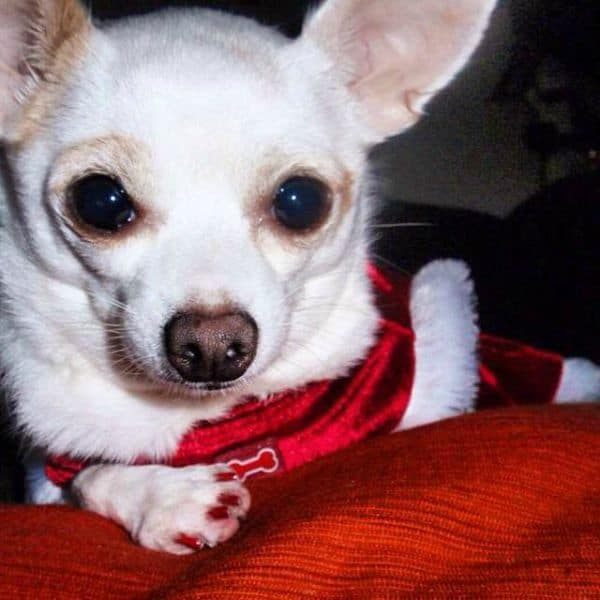 anxiety in chihuahuas i