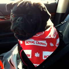 My Visit with Royal Canin Canada – As told by Edie The Pug