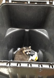 Garbage Can Raccoon