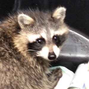 Rabies, Raccoons, and Dog Safety