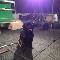 Lights, Camera, Action and Pug Weight Loss