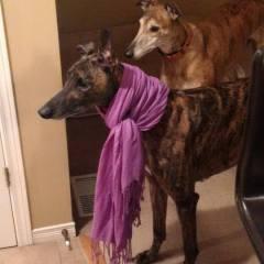 Greyhound Adoption Month