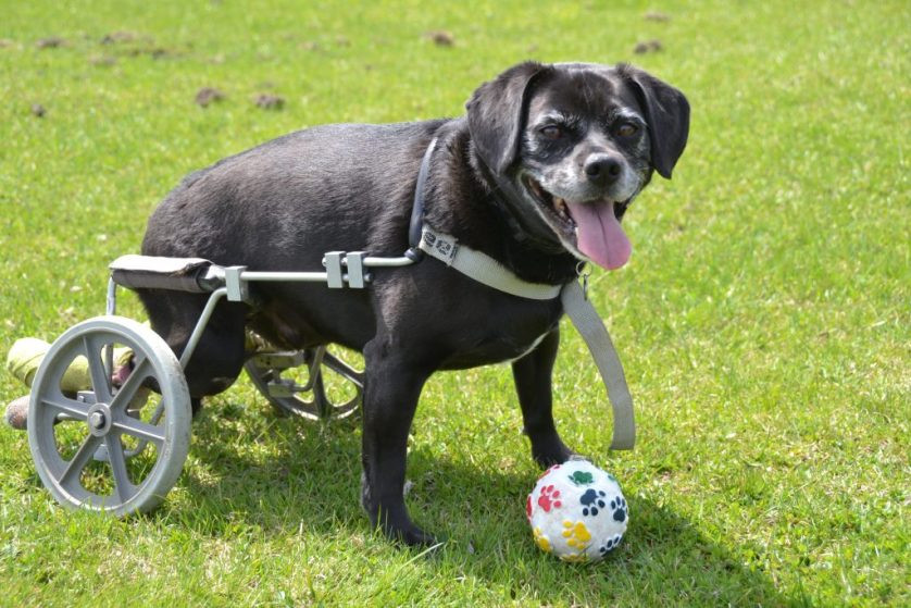 Spinal Issues, Diseases and Injuries in Dogs