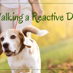 Walking a Reactive Dog