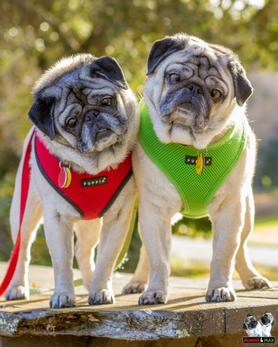 Interviews from Edie's Pug House - Minnie and Max