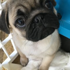 Introducing: Edna the Pug
