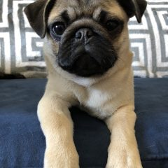 I Want a Pug Puppy!