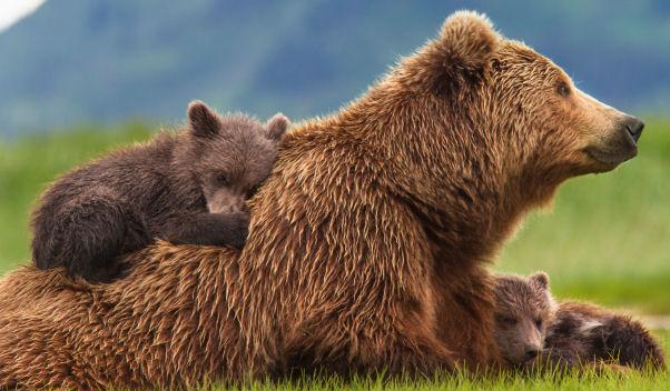 Disney Nature Bears movie