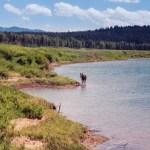 Grand Teton NP Oxbow Bend moose