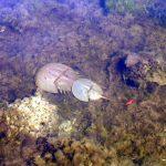 Biscayne NP horseshoe crabs