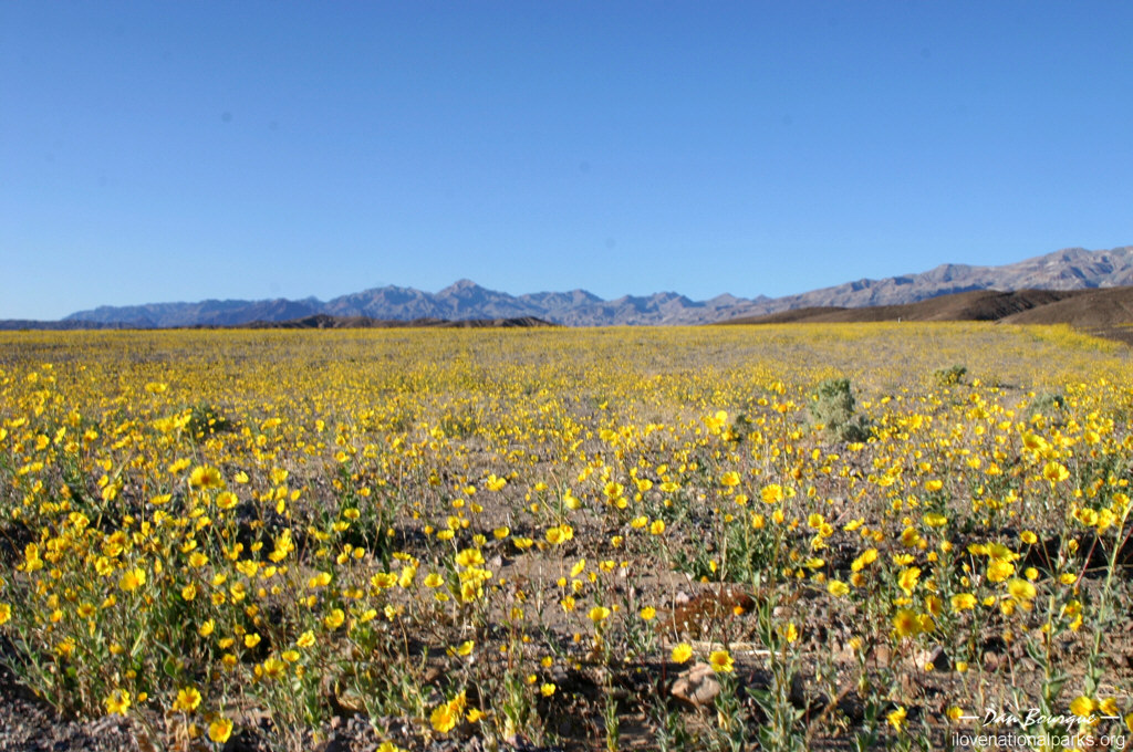 Death valley i love national parks death valley np wildflowers mightylinksfo