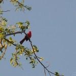 Everglades NP cardinal