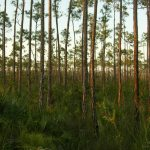 Everglades NP Pinelands