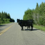 Glacier NP cow on highway