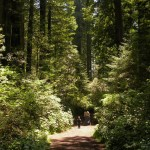 Redwood NP Lady Bird Johnson Grove