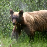 Waterton Lakes NP cinnamon black bear