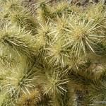 Organ Pipe Cactus NM cholla cactus