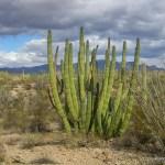 Organ Pipe Cactus NM organ pipe cactus