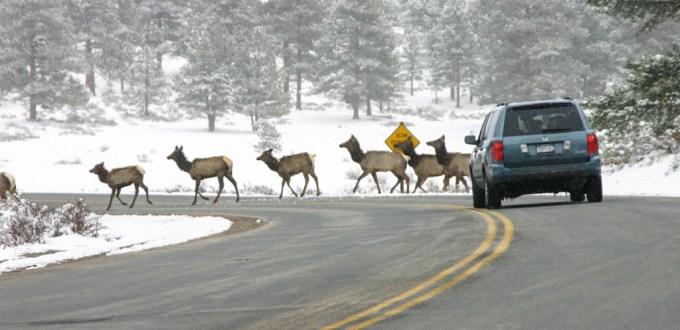 Rocky Mountain NP elk