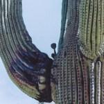 Saguaro NP saguaro within a saguaro