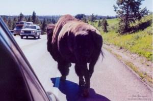 Yellowstone NP bison