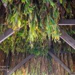 Natchez Trace tobacco leaves