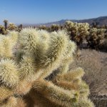 Joshua Tree Cholla Garden