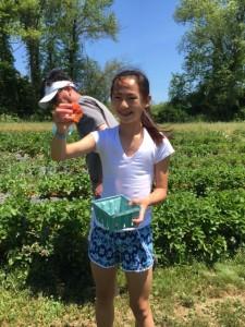 Strawberry Picking in Taunton