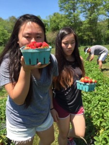 Strawberry Picking in Taunton