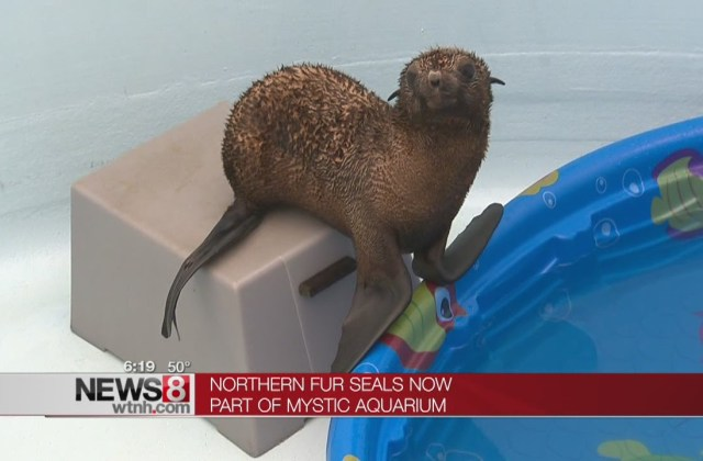 Rescued Fur Seal Pups at Mystic Aquarium