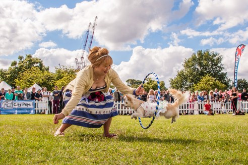 My Dogs Got Talent , judged by K9 angels, Lady Colin Campbell, Peter Egan and Jeanne of Sniffy's. Chanel the Chiahuahua in action. photo©Julia Claxton