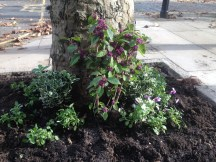 THE GUERILLA GARDENER STRIKES AGAIN, THIS TIME IN CHALCOT SQUARE