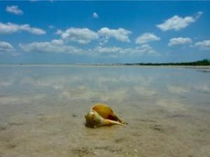 Pear whelk on tropical island