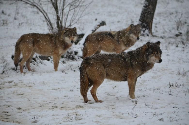 szürke farkas-Canis lupus_HNPI Archívum