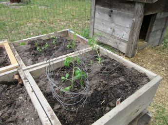 Tomato cages from almost unusable fencing.