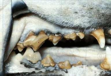 dog teeth tartar
