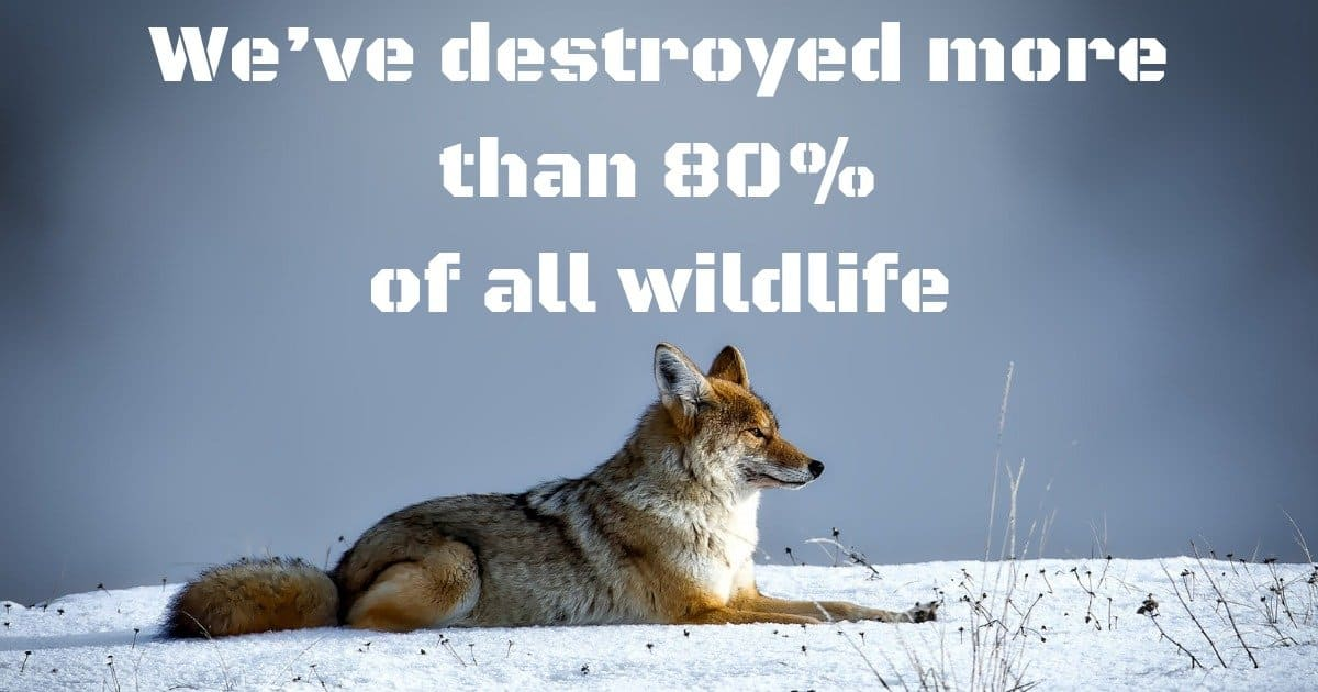 coyote, wildlife, destruction, We've destroyed more than 80% of all wildlife