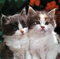 Ouriel_-_Chat_-_D009-Domestic_Cats-2_kittens