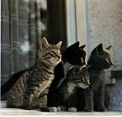 Ouriel_-_Chat_-_D012-Domestic_Cats-4_kittens