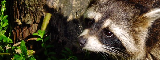 Raccoon_in_the_Wild_Banner