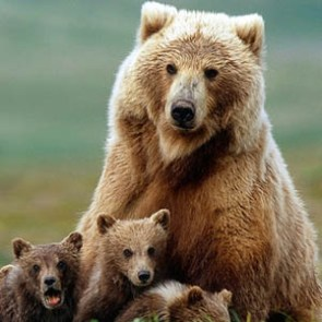 GrizzlyBears_Flickr_Szecska