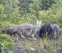 Huckleberry_pack_pups_WDFW
