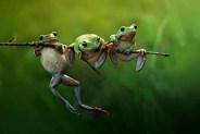 Acrobatic tree frogs in Borneo
