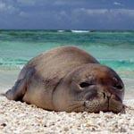 HawaiianMonkSeal_Wikimedia_MarkSullivan_150