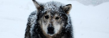 northern_dog_header_husky.jpg_4